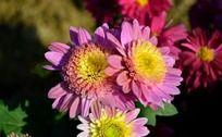 粉色可爱的小菊花