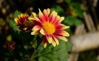 渐变花瓣的小菊花