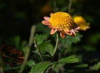 可爱的小菊花