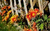 篱笆边的盛开的小菊花