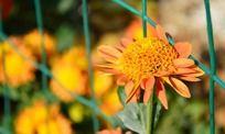 绿色铁丝网边的菊花
