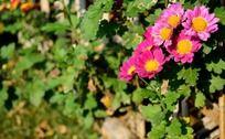 绿叶和盛开的粉色小菊花