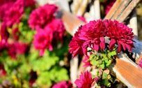 枚红色漂亮的小菊花