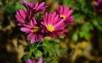 枚红色小菊花