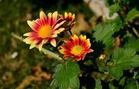 盛放的小菊花