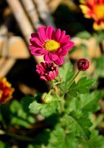 盛开的灿烂枚红色小菊花