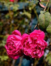 头靠头的枚红色蔷薇花