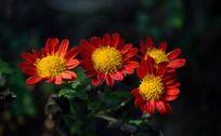 艳丽的红色小菊花