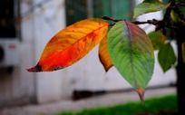 窗前红叶和绿叶