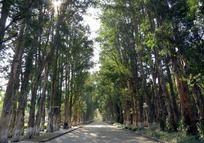 路边成排的树木