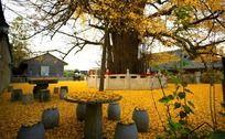 落满银杏叶的千年银杏树