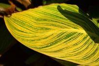 美丽的美人蕉叶子