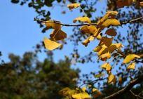 漂亮的银杏树枝