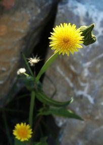 石头缝里蹦出的小野花
