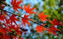 树枝上的红枫
