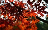 绚丽火热的枫叶