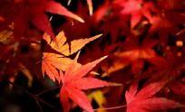 阳光下的红色枫叶