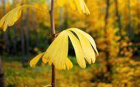 枝头的黄色树叶