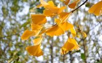 枝头金黄的树叶