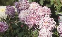 盛开的紫色菊花