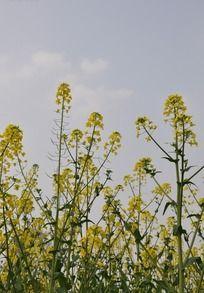 茂密的油菜花