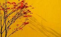 黄色墙壁前的枫树