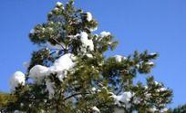青松上的白雪