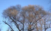 冬天干枯的树