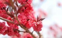 盛开的红色樱花