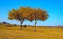 坝上草原的两棵树