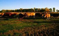 草原上的牛群