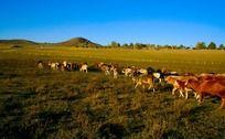 塞罕坝草原放牧的牛群