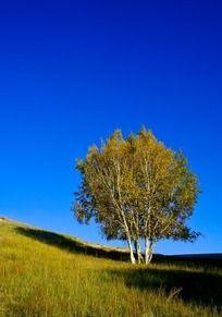 草原中的胡杨树