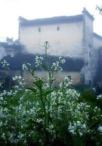 白色油菜花中的徽派民居