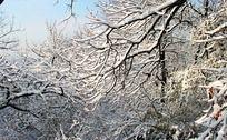 枯枝上的积雪