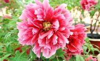 红色牡丹花