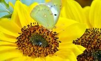 向日葵上的蝴蝶