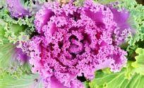 紫红色花卉