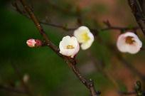 绽放的粉色海棠花