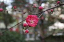 红色桃花盛开