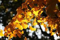 黄色银杏叶