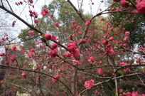 开满枝头的桃花
