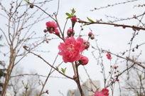 明艳的桃花