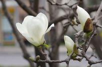 白玉兰花盛开