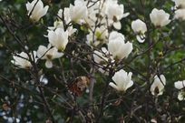 白玉兰花绽放