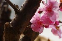 粉红色梅花