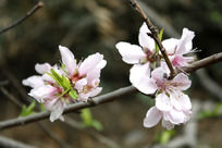 粉色桃花枝干