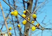 黄色的腊梅花苞