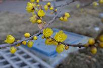 黄色腊梅花