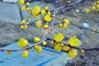 腊梅花盛开